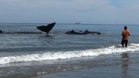 浜辺に乗り上げたマッコウクジラ9頭、当局が救出活動 インドネシア